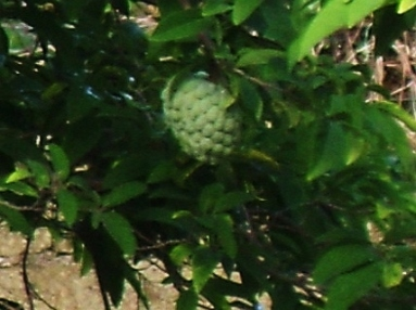 Sweet Sop. This one was visible from my windows on the north side.