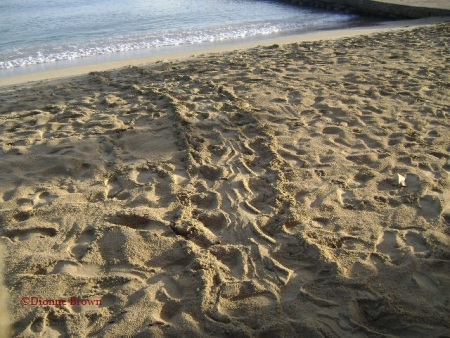 Turtles make their own pathway unto the beach to lay eggs, Ocho Rios Bay, St. Ann.